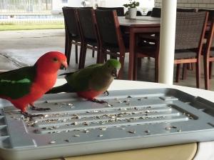 King Parrots.