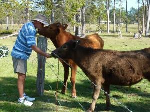 Murray 1 and Short Horns enjoying a hand fill of lush grass.