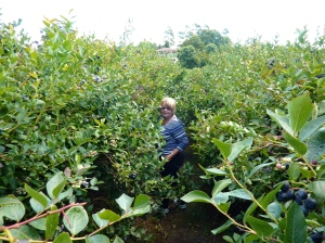 Blueberry picking, - how good is that!