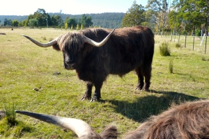 One of the Highland Cows