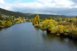 Autumn trees lining the Derwent River upstream from bridge in New Norfolk