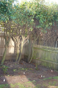Huge, neglected hedges have been hard pruned exposing ready made gardens with lovely friable soil.