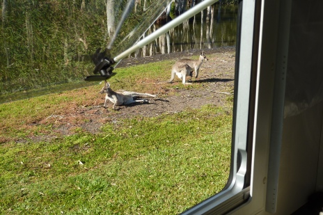 Roos sharing our camping space - check out the joey in the pouch.