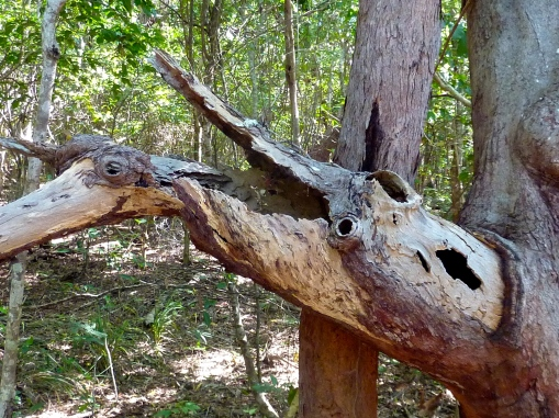 A natural sculpture on the bush track  - with some imagination perhaps an emu tackling  a croc!