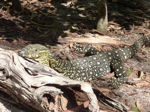 There were plenty of goannas sharing our lunch area.