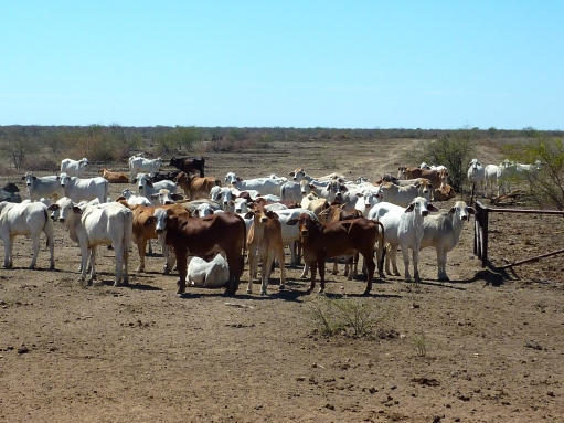 A few of the 28,000 head of cattle.