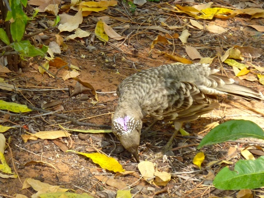 The lilac crest displayed on a male Spotted Bowerbird.