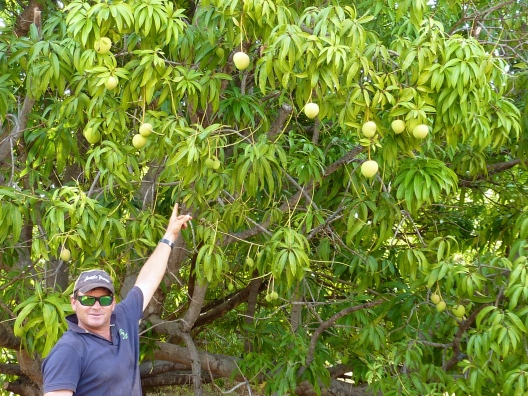 Kelv couldn't be prouder of his mangos if he owned the farm himself.