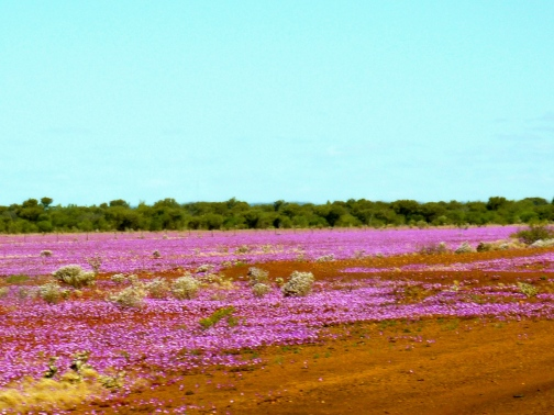 A sea of pink bursts from the red earth.