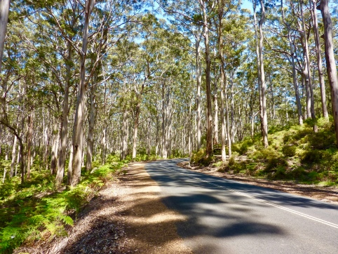 Caves Road winding through majestic Karri Forest.