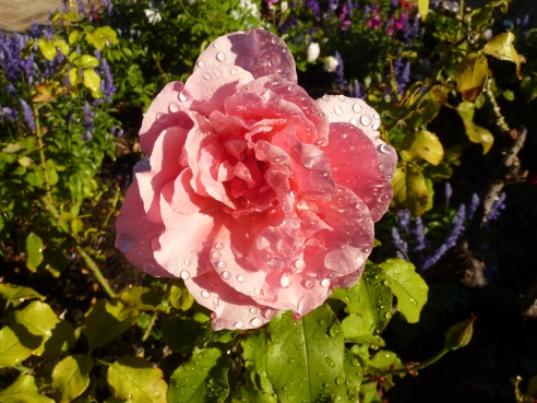 An unnamed rose planted by the previous owners - now a favourite of mine.